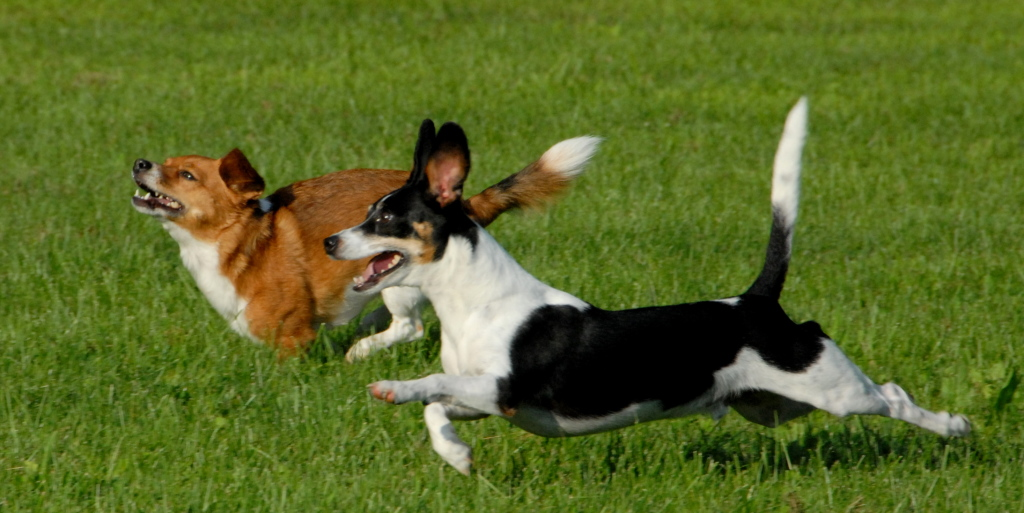 dogs running - pet boarding Indianapolis rates