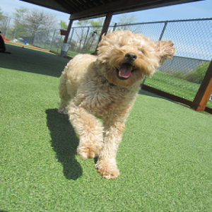 Murray - dog daycare guest